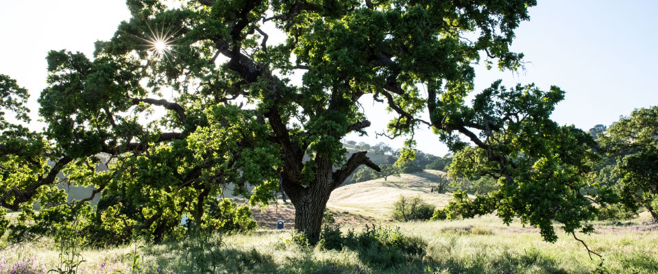 Oak tree on a green hillside with sunlight shining through the branches.
