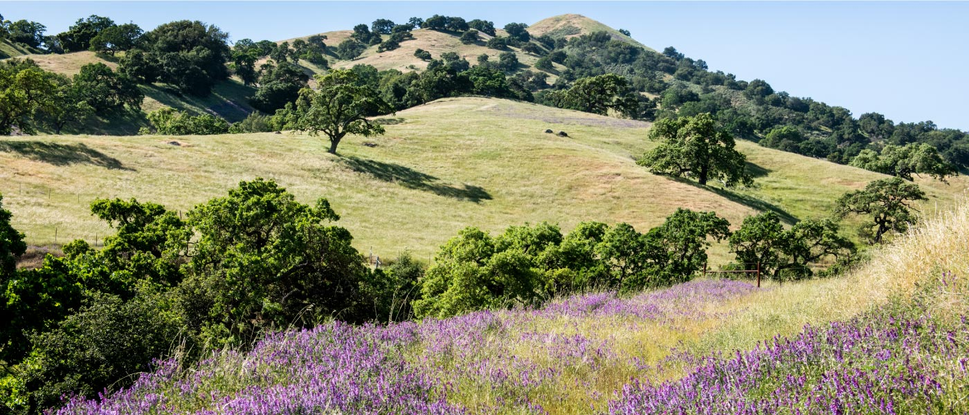 Rolling hillsides in Santa Clara County with oak trees, grasses, and wildflowers.